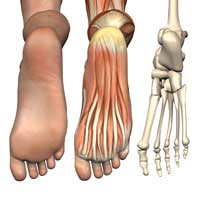 Foot Anatomy; Bones; Joints; Tendons;